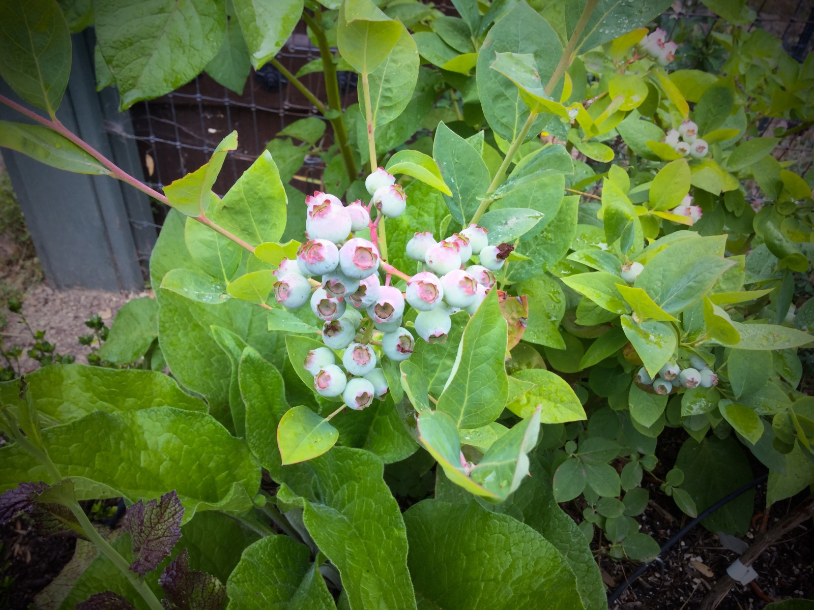 how to grow blueberry bushes in your backyard u2013 life beyond the city